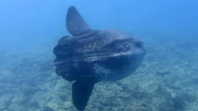 Dev ay balığı görüntülendi 35 yıldır ilk kez böylesini görüyorum