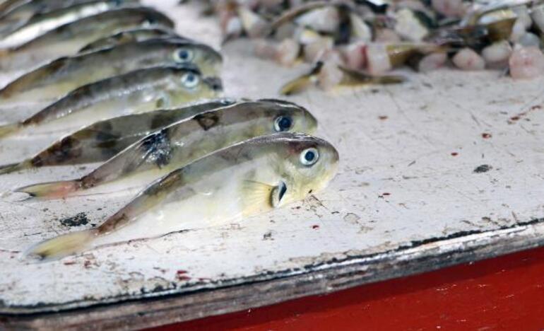 Balıkçılar balon balığının diğer türlerine de kuyruk parası istiyor