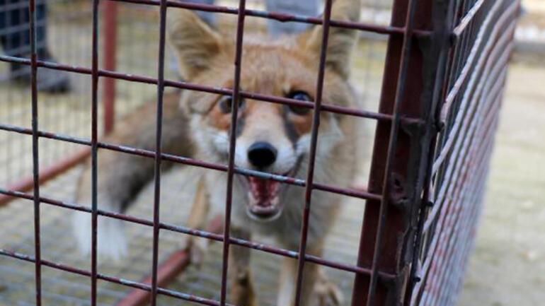 Afyonkarahisarda tedavisi tamamlanan bayağı şahin ve kızıl tilki doğaya salındı